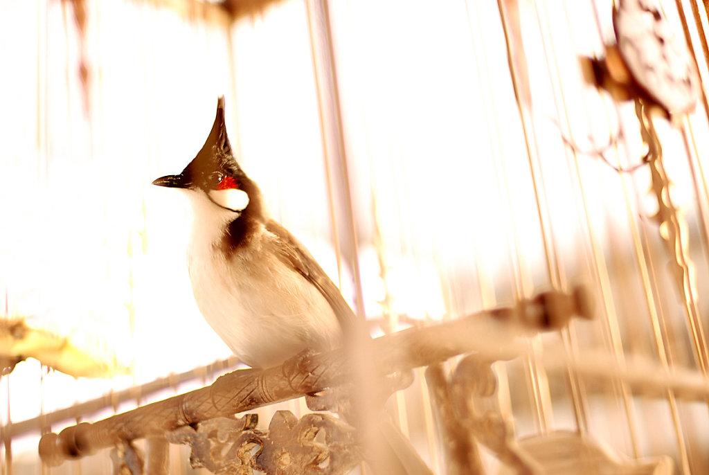 market songbird