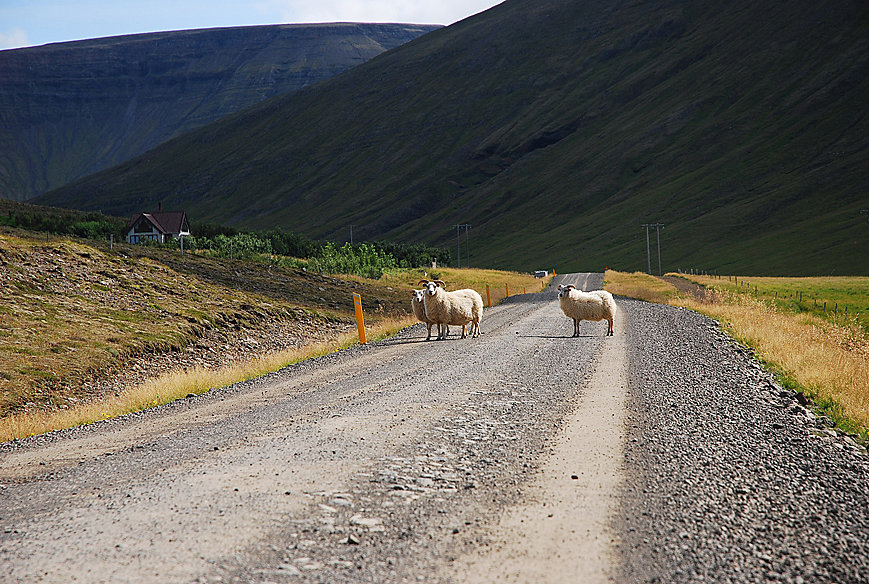 sheep are not afraid of cars